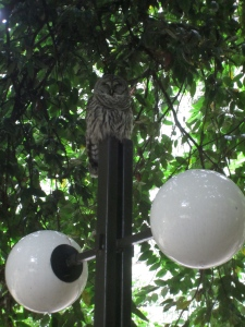 The Barred Owl often found hanging around our office on campus