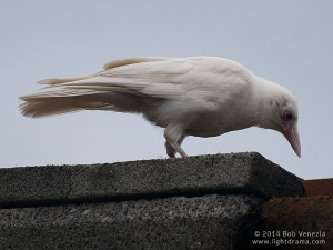 A complete leucistic crow.  What makes it leucistic and not albino?  The colored irises.