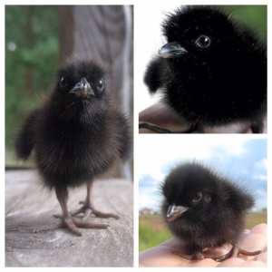These are not baby crows.