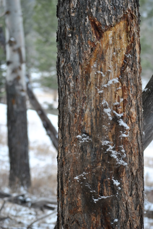 A tree shows some ears after being used as a scratching post for a bison.