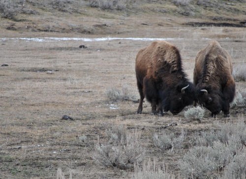 A couple of bison playfully testing each other
