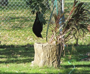 A crow just hanging out