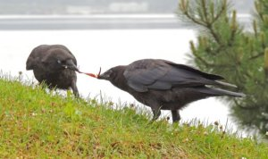 Young crows playing tug of war. Photo c/o Bob Armstrong