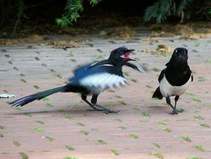 A young magpie demonstrates the classic begging posture.  Photo: T. Voekler