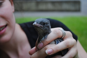 Does this baby scrub jay need to be taken to a rehab facility?