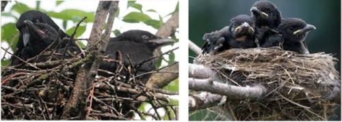 Crows_v_no crows
