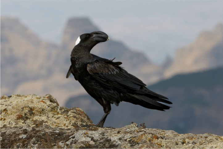 thick billed raven