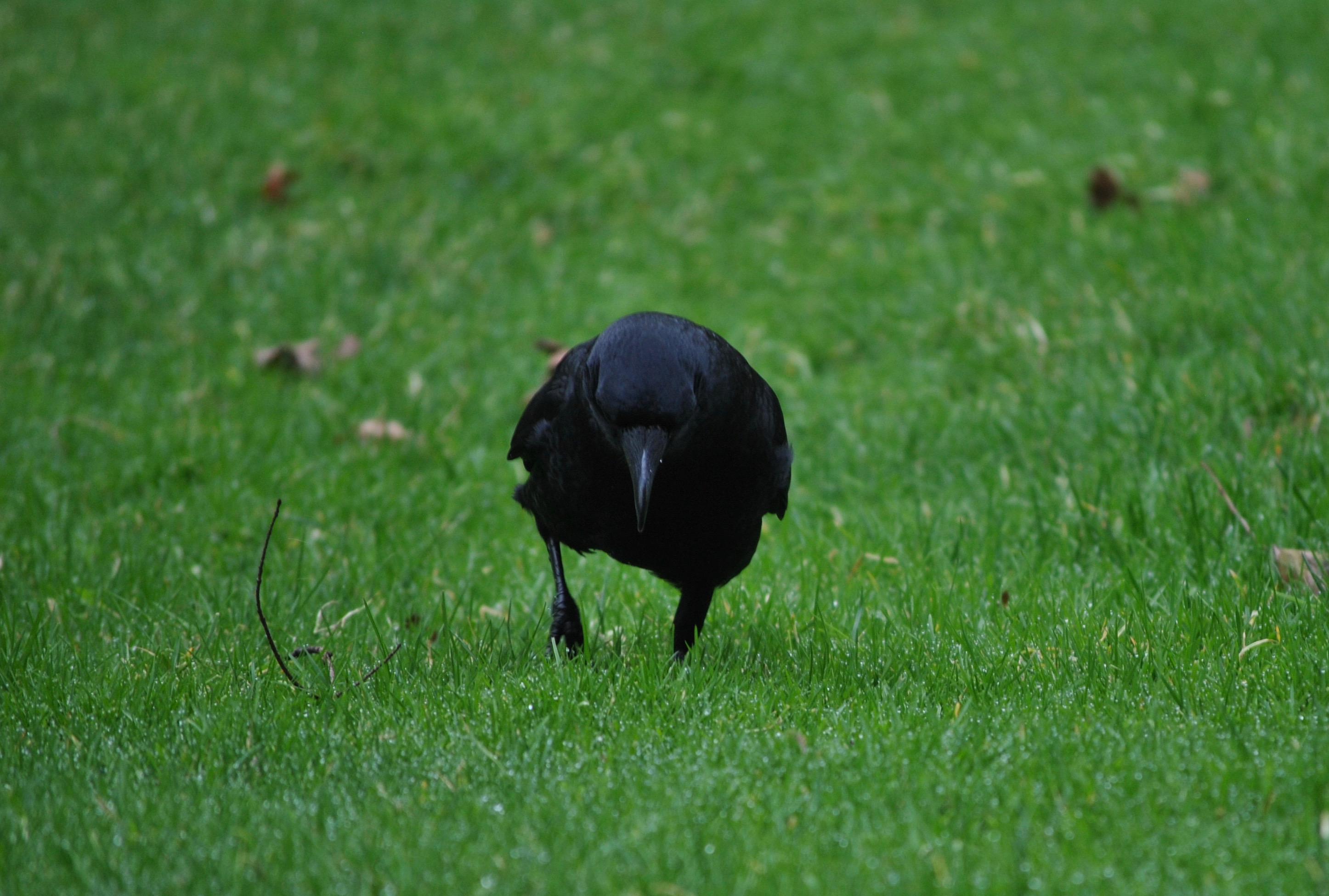 Crow curiosities what do crows eat corvid research biocorpaavc