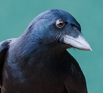 "A New Caledonian crow's bill appears in sharp contrast to a typical American crow. Photo: ""Science Meets Adventure"""