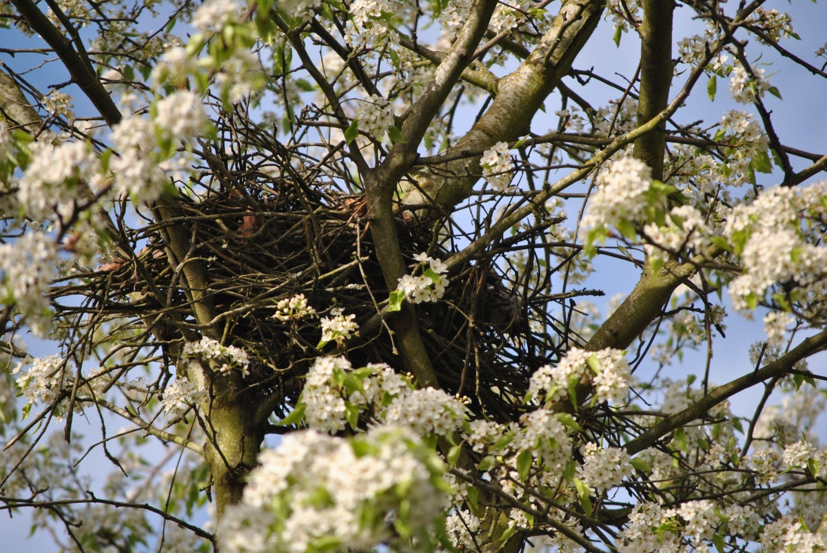 Everything You Want To Know About Crow Nests