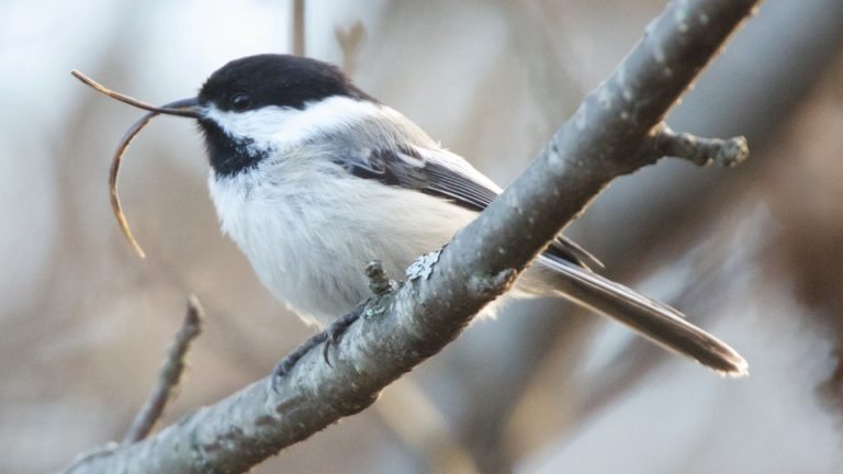 black-capped_chickadee_in_homer_alaska_c_martin_renner-768x432