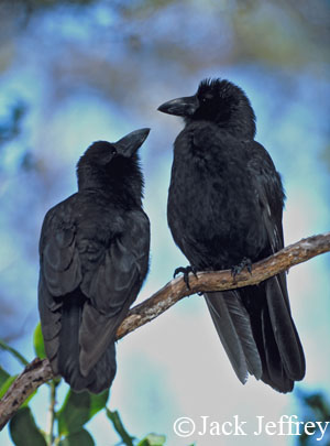 Alala, Corvus hawaiiensis, Hawaiian Crow, endangered