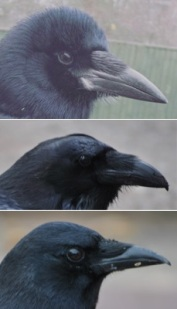 From top to bottom: Rook, raven, crow