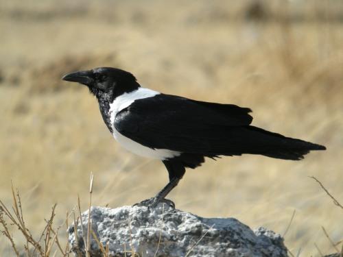 corvus_albus_-etosha_national_park_namibia-8