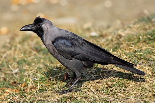 house-crow444