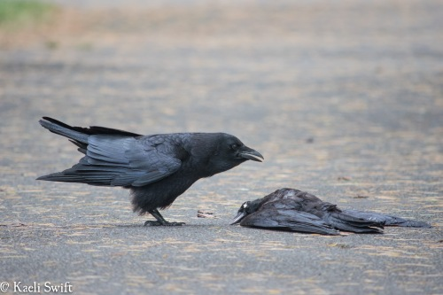 So The Possibility That They Do Other Things Around Dead Crows Like Touching Them Couldnt Be Explored