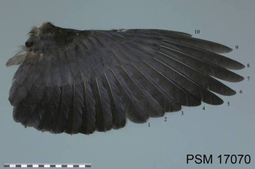 Crow wing