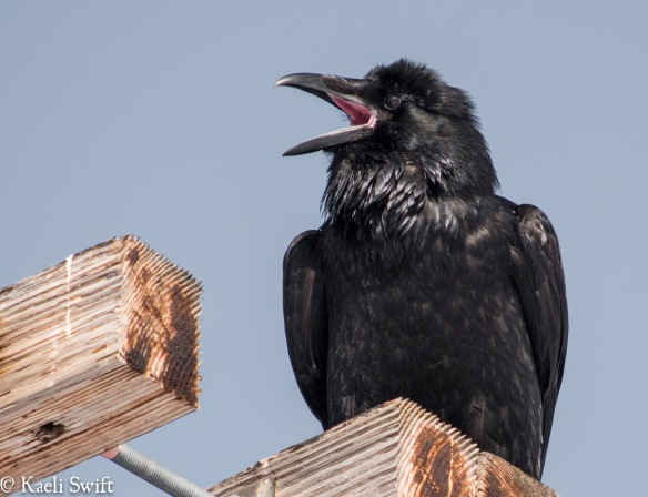 Crow behavior |