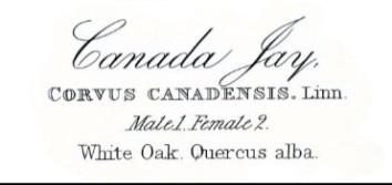 Canada jay_audubon