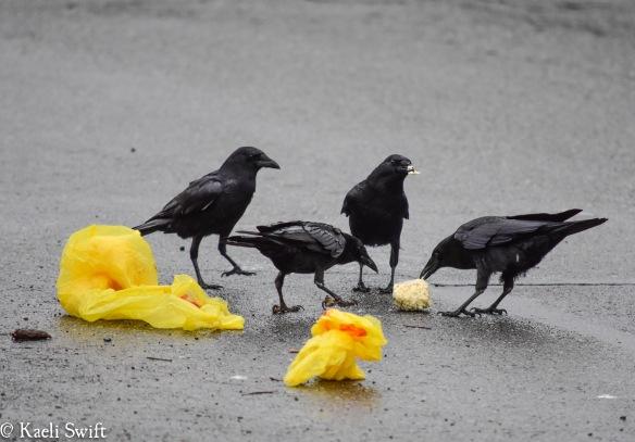 Crow behavior |