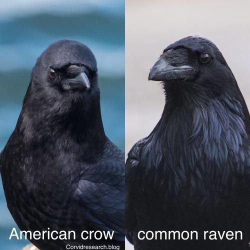 Crow v raven