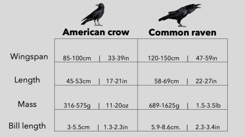Crow vs. raven measuremnts